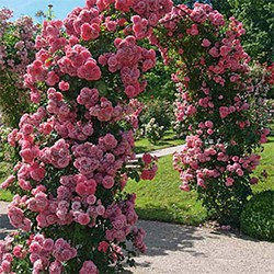 Róża In My Garden rabatowa doniczka C 2
