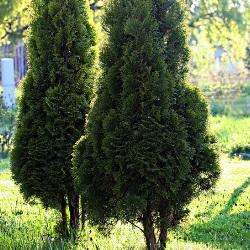 drzewka iglaste