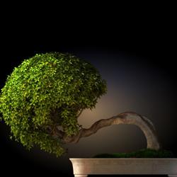 drzewko bonsai, sztuka bonsai