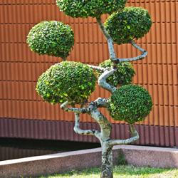 drzewko w stylu bonzai, ogród, uprawa roślin