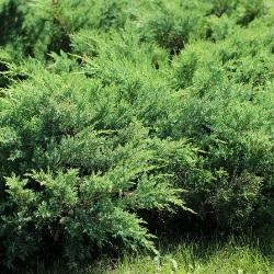 krzewy iglaste