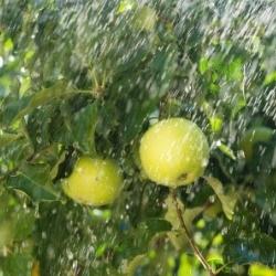 podlewanie jabłoni
