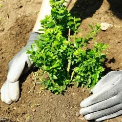 sadzenie bukszpanu