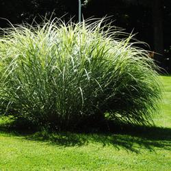trawa ozdobna w ogrodzie