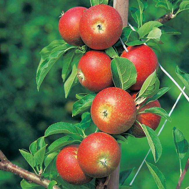 jabłoń Malus Castorama