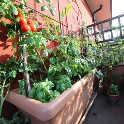 balkon z pomidorami