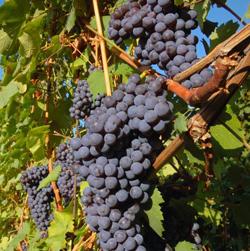 winogrona dojrzałe