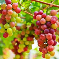 winogrona dojrzewające