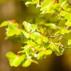 gałęzie leszczyny